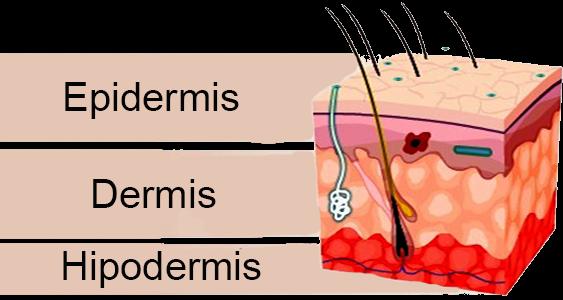 epidermis, dermis Vital&Clinic